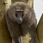 Olive baboon portrait © Greg Downing