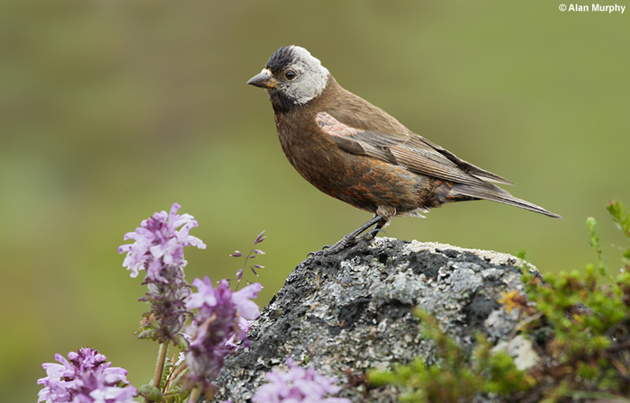 Gray-Crowned Rosy Finch by Alan Murphy
