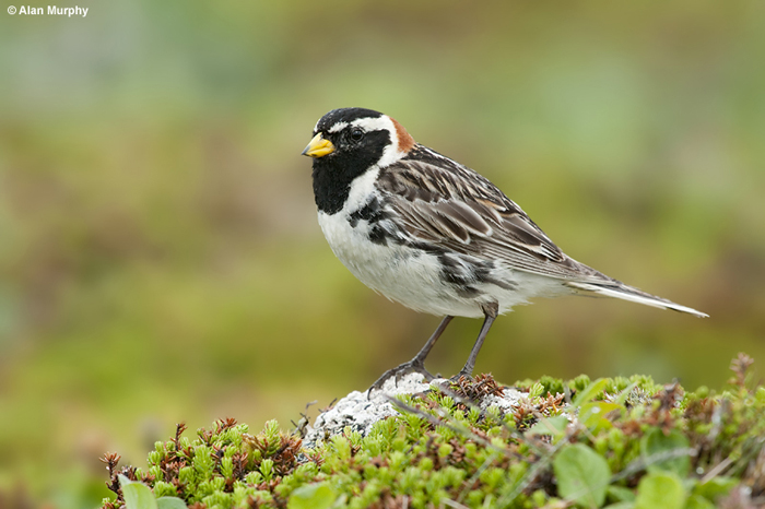 Lapland Longspur by Alan Murphy