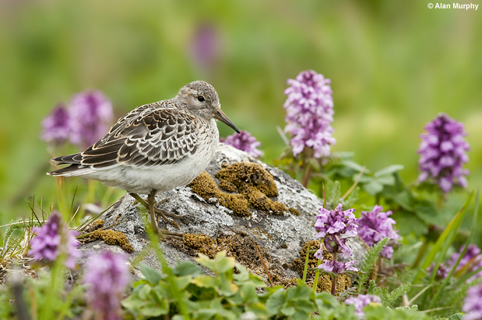 Rock Sandpiper by Alan Murphy