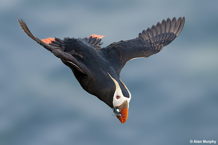 Tufted Puffin by Alan Murphy