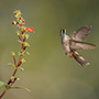 Hummingbird in flight with a flower © Nikhil Bahl