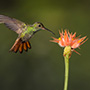 Solo hummingbird approaches flower © Nikhil Bahl