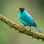 Teal bird perches on branch © Nikhil Bahl