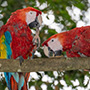 Two macaws perched in tree © Nikhil Bahl