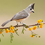 Black-crested titmouse © Greg Downing