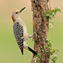 Golden-fronted woodpecker in Texas © Greg Downing