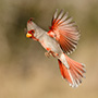 Northern cardinal in flight © Greg Downing
