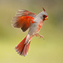Northern cardinal in Texas © Greg Downing