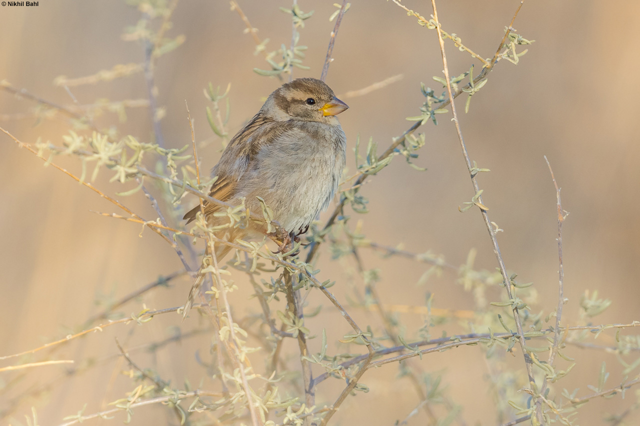 Sparrow at Bosque © Nikhil Bahl