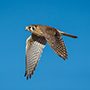American kestrel in flight © Nikhil Bahl