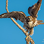 Red-tailed hawk take off © Nikhil Bahl