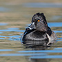 Ring-necked duck © Nikhil Bahl