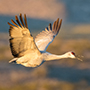 Sandhill crane in flight © Nikhil Bahl