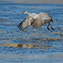Sandhill crane takes off on water © Nikhil Bahl