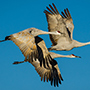 Sandhill cranes in flight © Nikhil Bahl