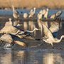 Sandhill cranes take off on water © Nikhil Bahl
