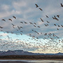 Snow geese take off with cloudy sky © Nikhil Bahl