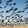 Snow geese take off silhouettes against blue sky © Nikhil Bahl