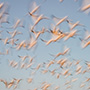 Snow geese take off sky blur © Nikhil Bahl