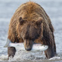 Alaska bear with fish catch © Greg Downing