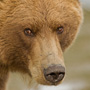 Brown bear close-up portrait © Greg Downing