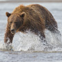 Brown bear fishing in the water © Greg Downing