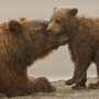 Brown bear with cub © Greg Downing