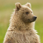 Coastal brown bear portrait standing © Greg Downing