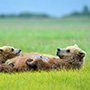 Coastal brown bears laying in grass © Expeditions Alaska