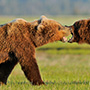 Brown bears action photography © Expeditions Alaska