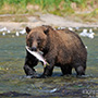 Brown bear fishing with catch © Expeditions Alaska