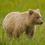 Brown bear in grass, portrait © Greg Downing