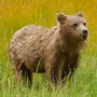 Brown bear in grass © Greg Downing