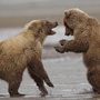 Brown bears play fight © Greg Downing