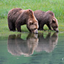 Brown bears drinking water © Expeditions Alaska