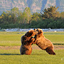 Brown bears playing on grassy landscape © Expeditions Alaska