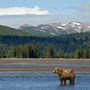 Coastal brown bear in Alaska in front of mountain range © Expeditions Alaska