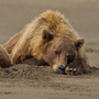 Brown bears resting in sand © Greg Downing