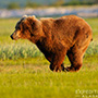 Katmai brown bear in grassy area © Expeditions Alaska