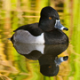 Ring-necked duck on the water © E.J. Peiker