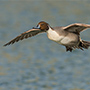 Northern pintail in flight © E.J. Peiker