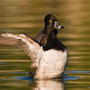 Ring-necked duck with stretched wings © E.J. Peiker