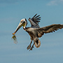 Brown pelican in flight with grass © Nikhil Bahl