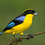 Blue-winged mountain tanager © Greg Downing