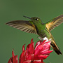 Buff-tailed coronet with red flower © Greg Downing