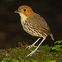 Chestnut-breasted antpitta © Greg Downing