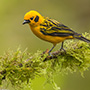 Golden tanager © Greg Downing