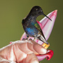 Hummingbird in hand, Ecuador © Greg Downing