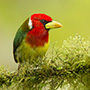 Red-headed barbet © Greg Downing